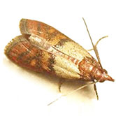 case moth pest control